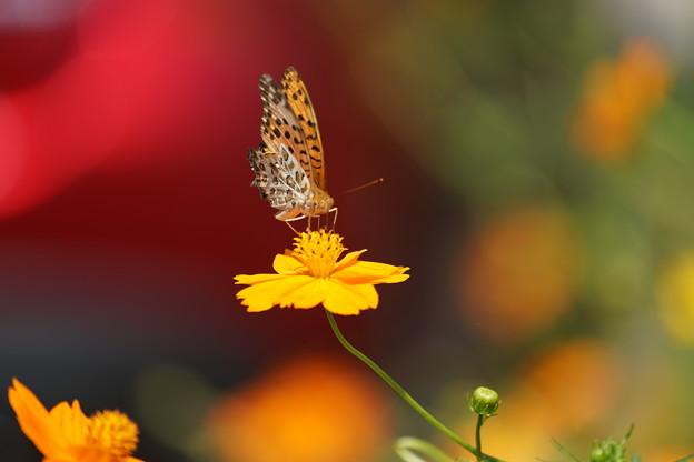 Photos: 花とツマグロヒョウモン