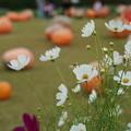 秋桜と南瓜
