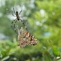 Photos: 蜘蛛の巣に捕らわれた蝶