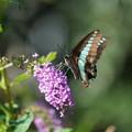 Photos: 花とアオスギアゲハ