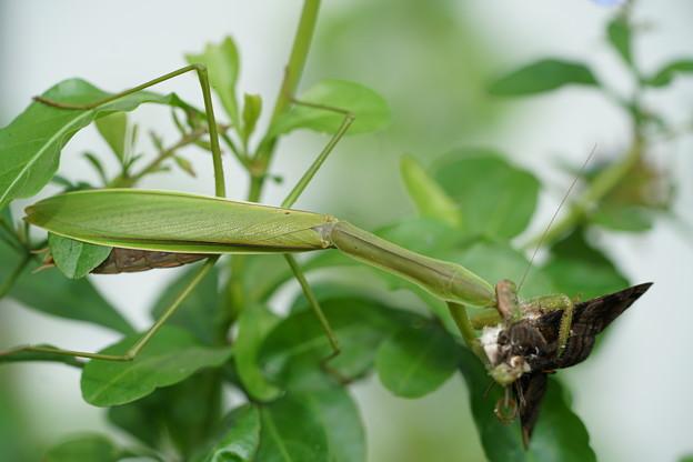 Photos: 食事中の蟷螂