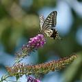 Photos: 花とナミアゲハ