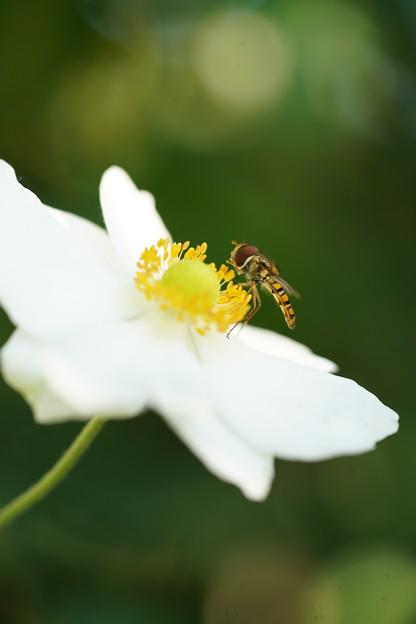 花とヒラタアブ