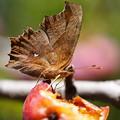 Photos: 林檎と蝶