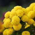 Photos: スプレー菊