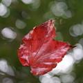 蜘蛛の巣の紅葉