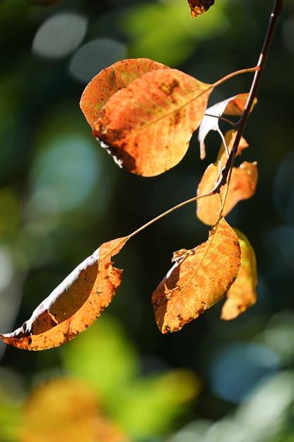 ケムリノキの葉