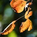 Photos: ケムリノキの葉
