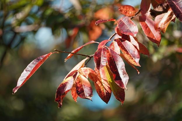 スズランノキの葉