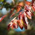 Photos: スズランノキの葉
