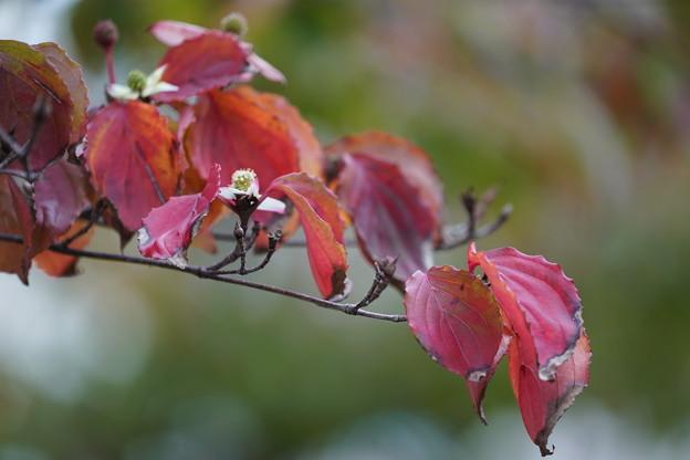 ヤマボウシの葉