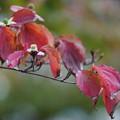 Photos: ヤマボウシの葉