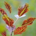 スモークツリーの葉