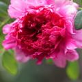 Photos: 十六夜薔薇