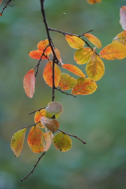 サルスベリの葉