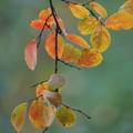 Photos: サルスベリの葉