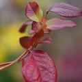Photos: ブルーベリーの葉