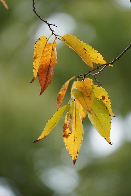 ケヤキの葉