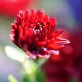 Photos: 赤い菊