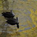 Photos: 二羽の鴨