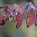 サンシュユの葉