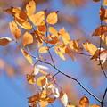 Photos: 欅の葉
