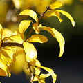 Photos: 柘榴の葉