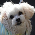 Photos: 犬プードル犬