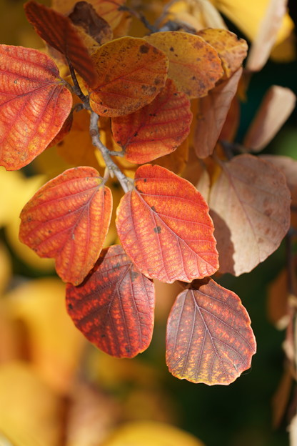フォッサギラの葉