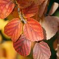 Photos: フォッサギラの葉