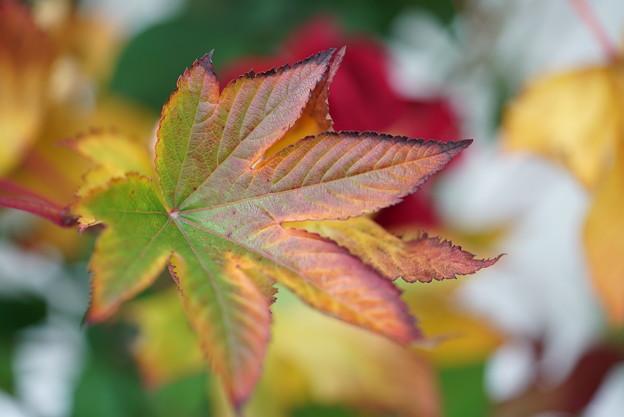 キイチゴの葉