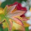 Photos: キイチゴの葉