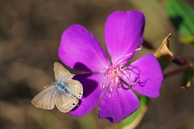 Photos: 花とウラナミシジミ
