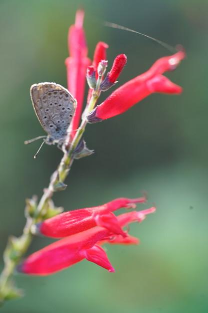 蝶とパイナップルセージ