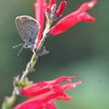 Photos: 蝶とパイナップルセージ