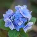 初冬の紫陽花
