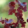 ヨーロッパブドウ