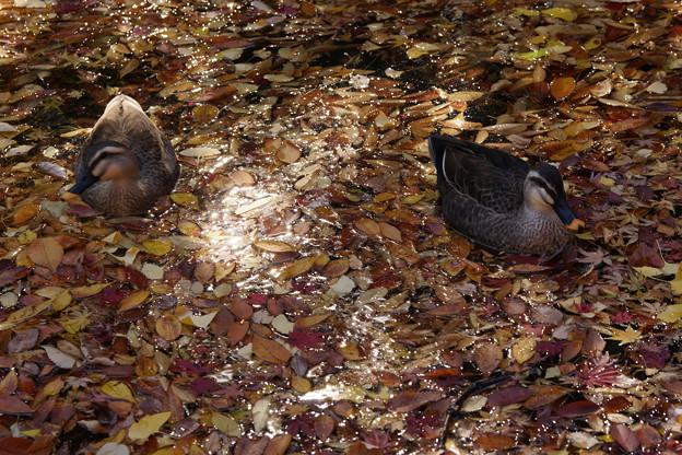 Photos: 落葉と鴨