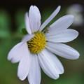 Photos: 朝鮮野菊