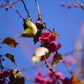 Photos: 桜に目白
