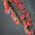 Photos: 蔦の葉