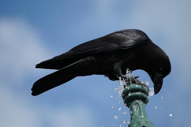 水飲むカラス