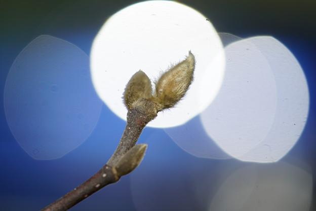 Photos: 木蓮の蕾