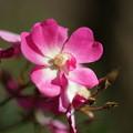 Photos: 桜木