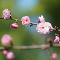 Photos: 香露梅