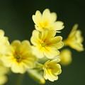 黄色いプリムラ