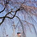Photos: 桜と氷川丸