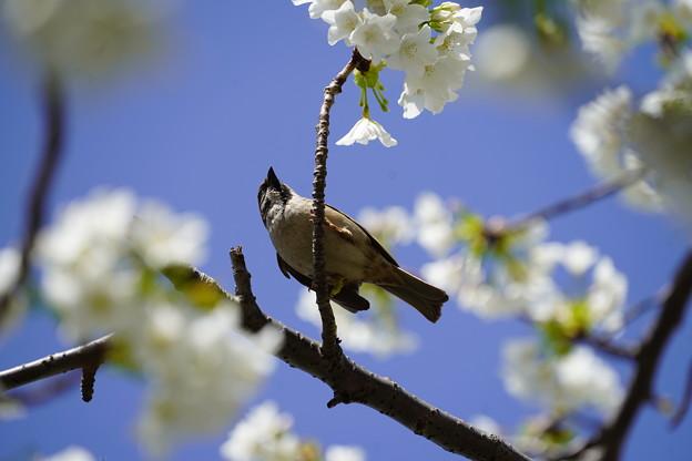 桜とすずめ