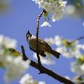 Photos: 桜とすずめ