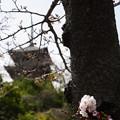 Photos: 胴咲き桜